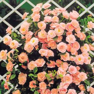 Роза плетистая Глория Клайминг изображение 7