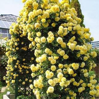 Роза плетистая Голден Ковер изображение 8