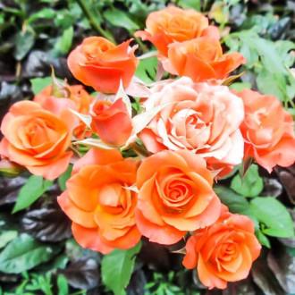 Роза спрей Алегрия изображение 5