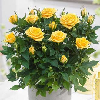 Роза спрей Санторини изображение 7