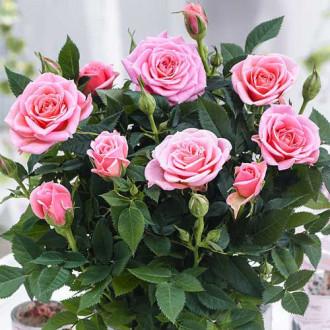 Роза спрей Виктория изображение 6