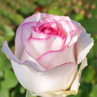 Роза чайно-гибридная Дольче Вита изображение 7