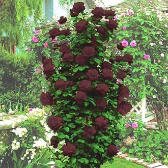 Роза плетистая Черная Королева изображение 1
