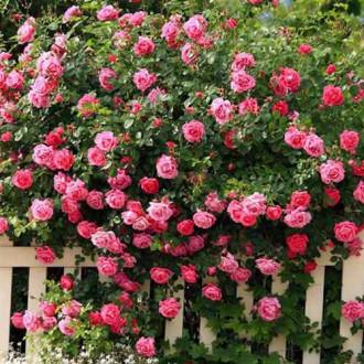 Роза плетистая Розовая изображение 6