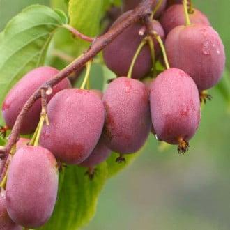 Мини-киви (актинидия) Пурпурная садовая изображение 1