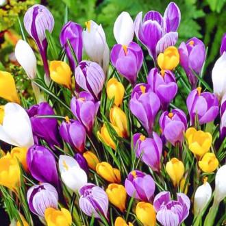Суперпредложение! Комплект ботанических крокусов, микс из 35-ти луковиц изображение 7