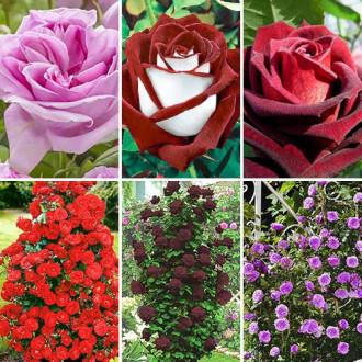 Суперпредложение! Комплект чайно-гибридных и плетистых роз из 6 сортов изображение 8