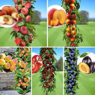 Суперпредложение! Комплект колоновидных деревьев Любимые фрукты из 5 саженцев изображение 4