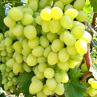 Виноград Аркадия изображение 8
