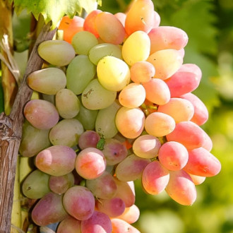 Виноград Арочный изображение 7