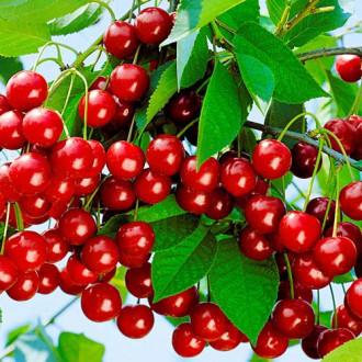 Вишня Уральская рубиновая изображение 5