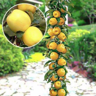 Яблоня колоновидная Медок изображение 8