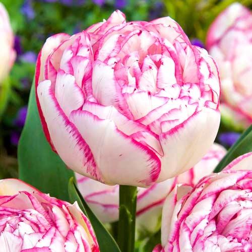 Тюльпан махровый Дабл Тач изображение 1 артикул 67458