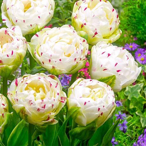 Тюльпан махровый Дэнс Лайн изображение 1 артикул 67457