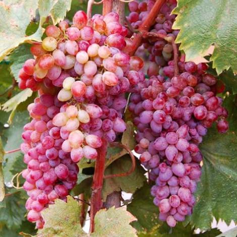 Виноград кишмиш Кинг Руби изображение 1 артикул 7311