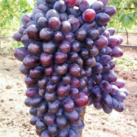 Виноград кишмиш Юпитер изображение 1 артикул 6955