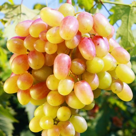 Виноград Золотой юбилей изображение 1 артикул 7356