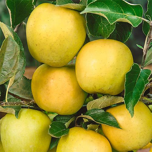 Яблоко-груша Голден Делишес изображение 1 артикул 7462