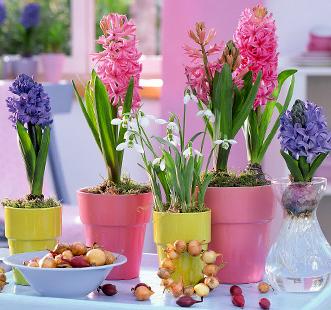 Луковицы цветов Глобал Кепперлайн