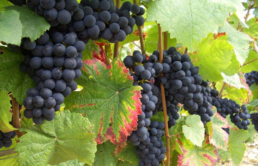 посадка винограда на дачном участке