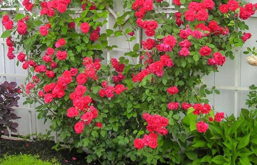 взрослые плетистые розы уход