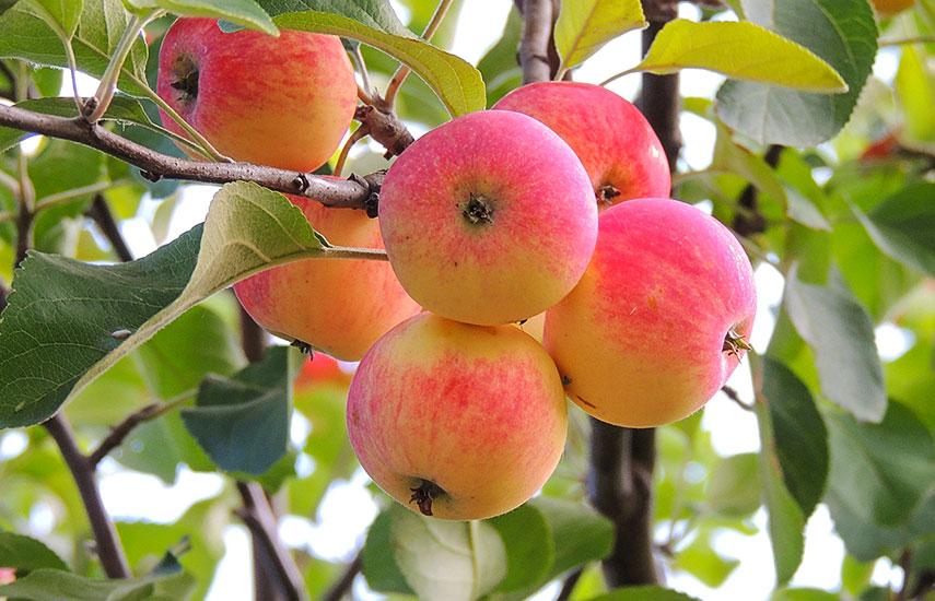 выбор яблони для сада