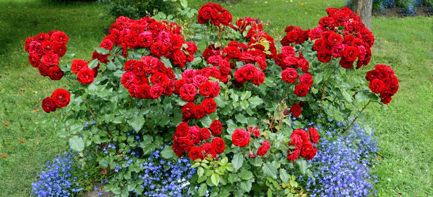что посадить с розой