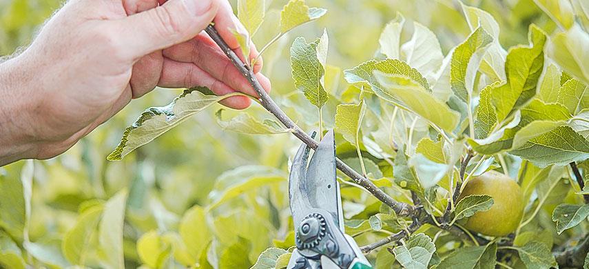 сроки обрезки плодовых деревьев и кустарников