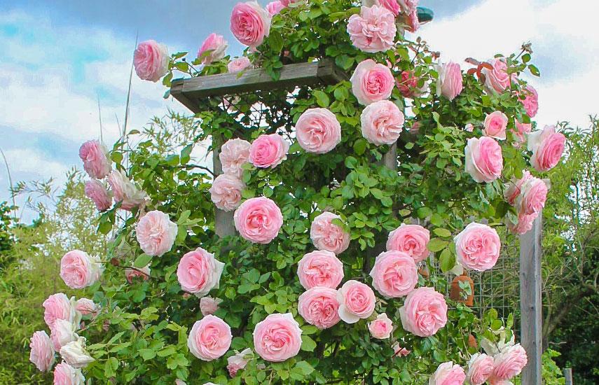 плетистые крупноцветковые розы