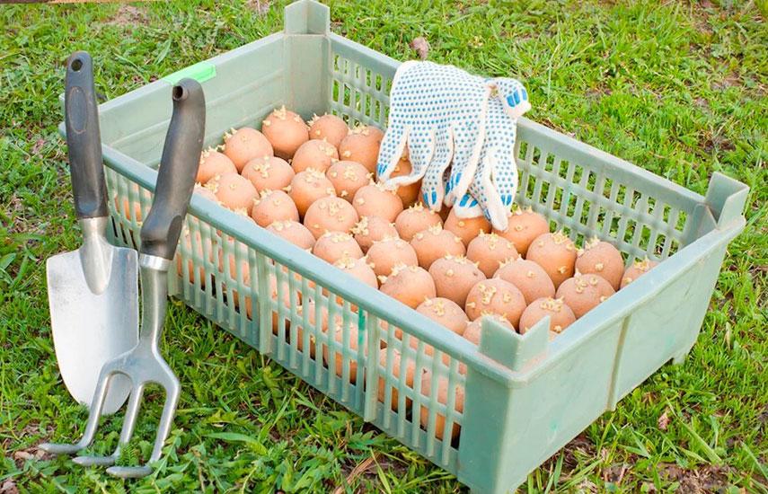 яровизация картофеля зачем нужна