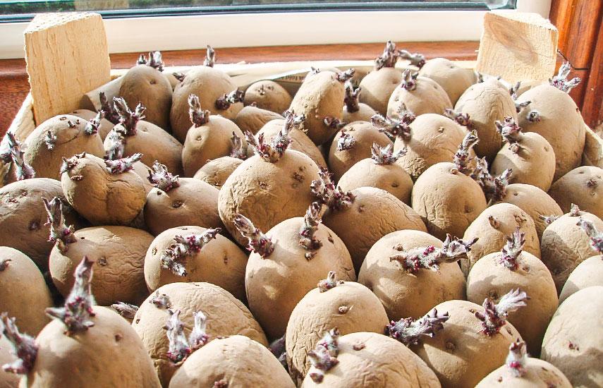 яровизация картофеля зачем проводить
