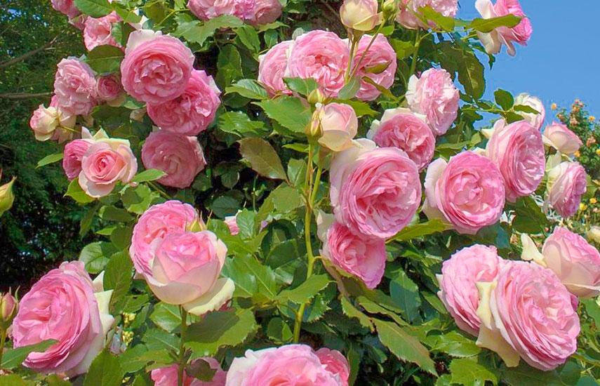 когда сажать розу весной