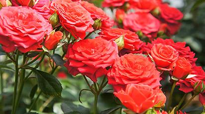 опадают листья у роз