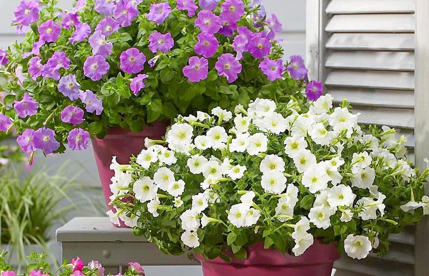 растения которые цветут все лето петуния