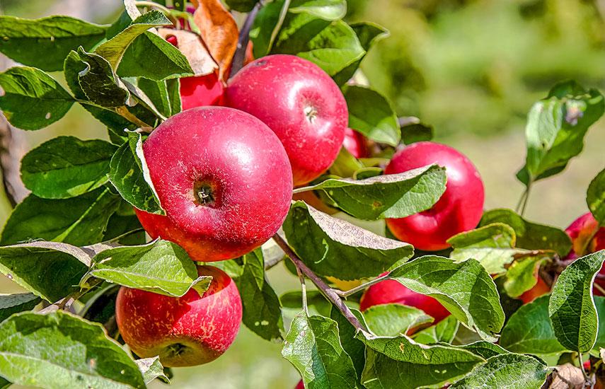 выбор яблонь для участка