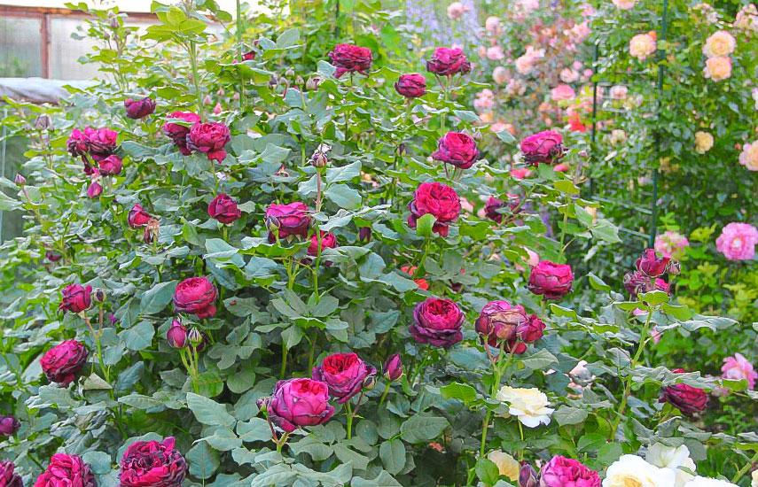 правила посадки роз