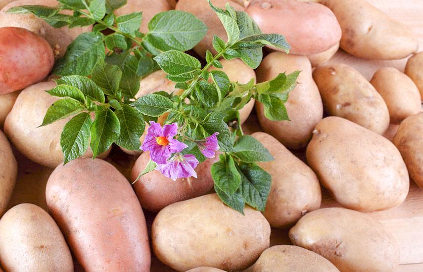 особенности выращивания картофеля