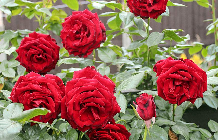 подкормка розы весной