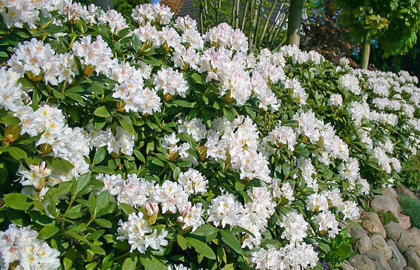 посадка рододендронов весной в открытый грунт