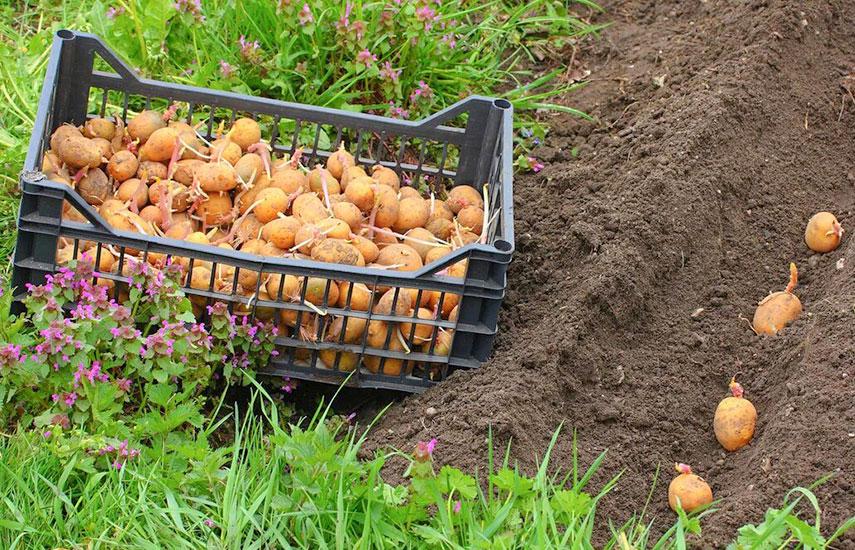Особенности посадки картофеля