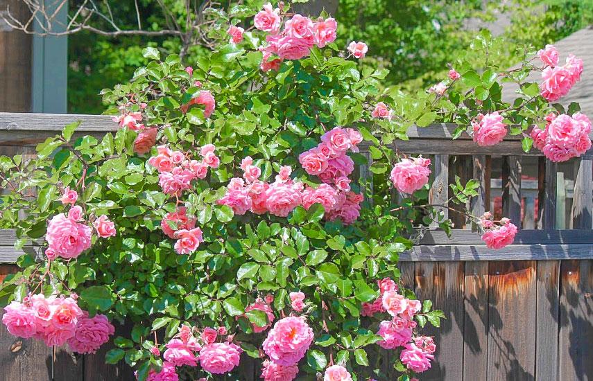 что такое плетистая роза