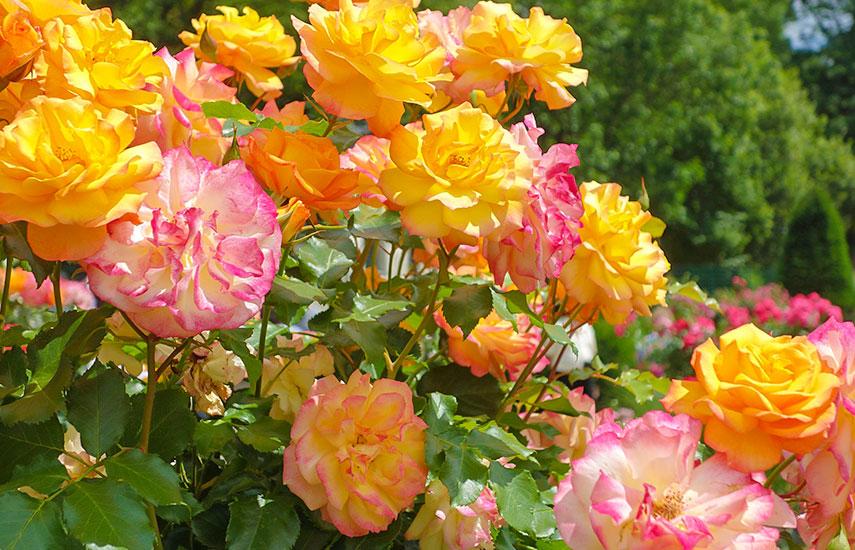 уход за саженцами роз после посадки