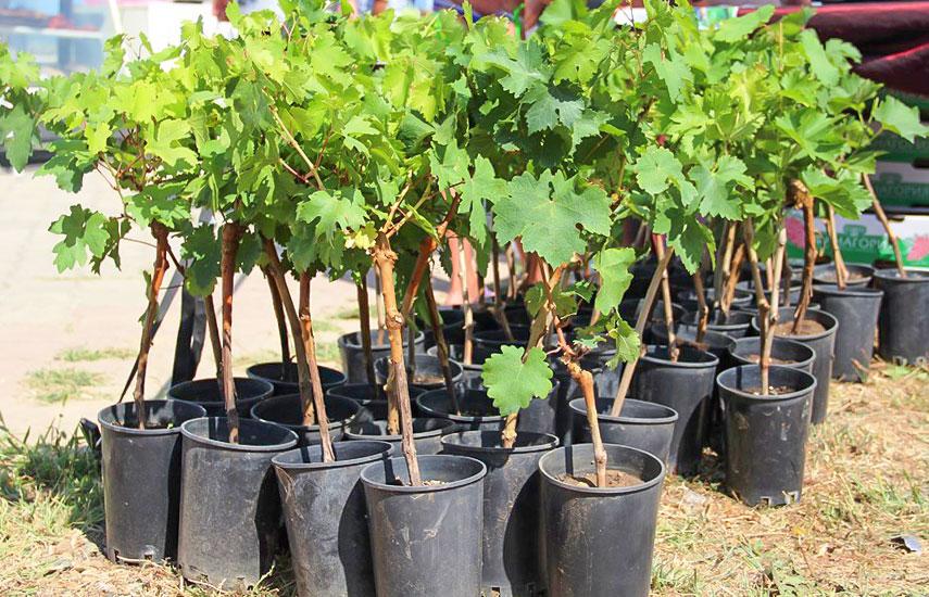 Как сохранить до посадки саженцы винограда