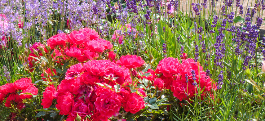 роза и многолетники
