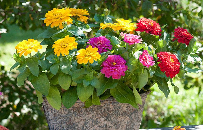 растения которые цветут все лето циния