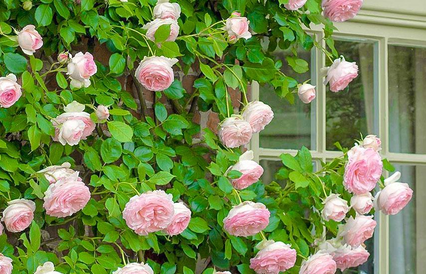 когда сажать розы весной или осенью