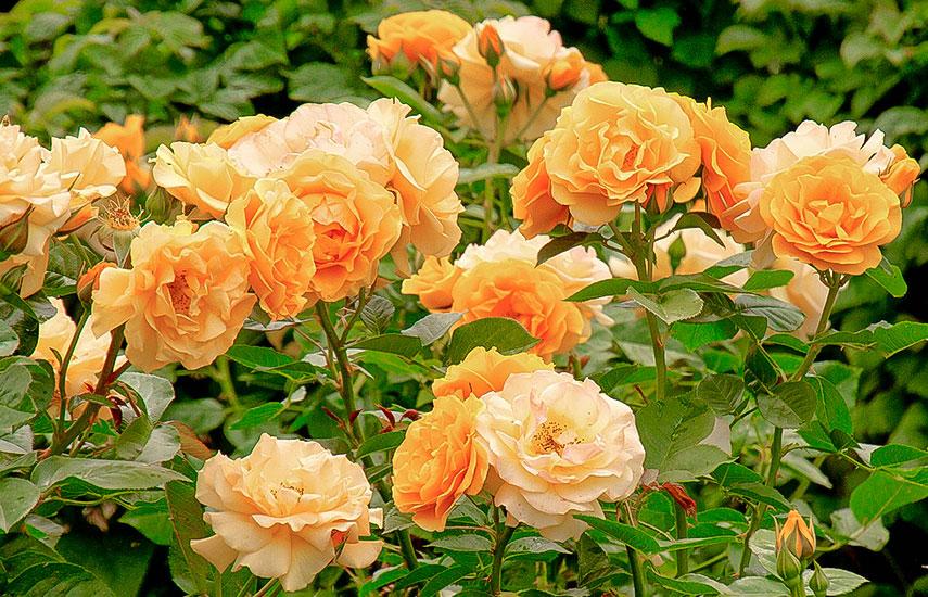 как правильно посадить розы в открытый грунт