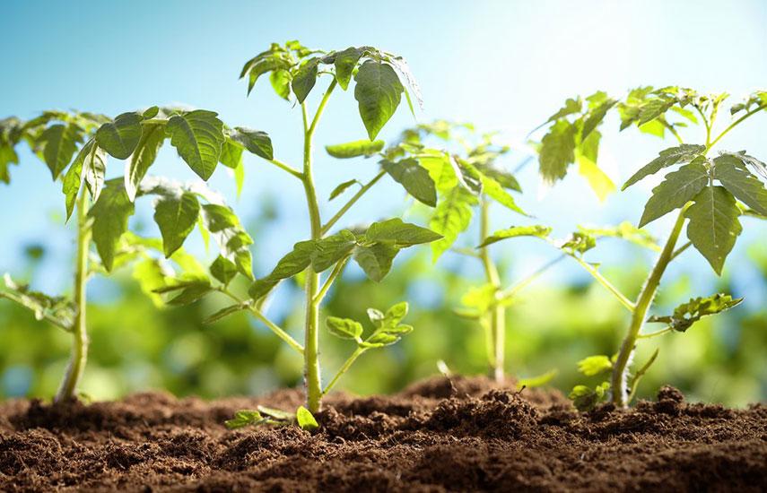 Какие томаты можно сеять в апреле