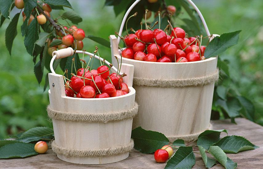 какие виды вишни можно посадить