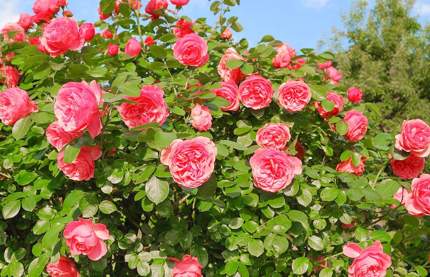 удобрения для розы весной перед цветением